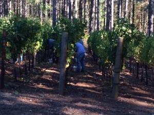 Harvest Seek Howell Mountain