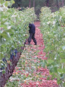 We called in the mold busters! Our vineyard manager sent 7 of his crew up here for emergency leafing. During a rain-free 9 hours, those amazing men pulled all the leaves off the fruit zone of 4600 vines. The skies opened again immediately after they finished. Notice the trail of leaves behind 1 of our harvest heroes.